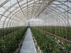 tomathus