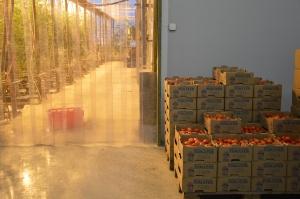 En av många driftiga företagare; Tomat-Roger i nYbyn, Sveriges enda odlare av vintertomater.