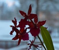 Orkidéer, enda blommorna inomhus jag håller liv i.