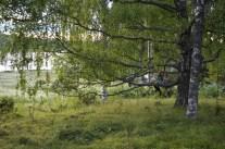 Storbjörken på Rådjern i Grelsbyn. Släktbarnen sitter som sina förfäder.