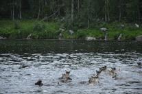 Efter märkningen simmar renarna över Ängesån.