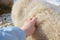 Hur kan man inte älska ull! Finullen är sverigebästa ullen.