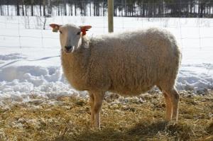 Maj är en fegis, har inte fått klia henne än. Så kan det gå när man är nog med att inte störa tackor med lamm.