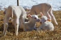 Vita lamm, uppfödda nästan bara utomhus.