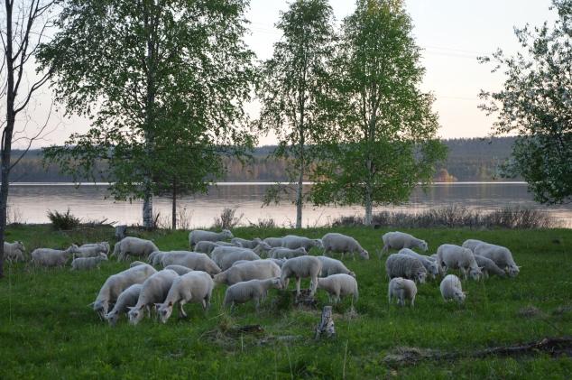 Svenskt finullsfår, en gammal lantras.