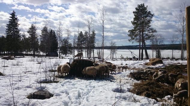 I söndag fick några av fåren ny bal - ute i snön. Usch vilken lera det varit överallt.